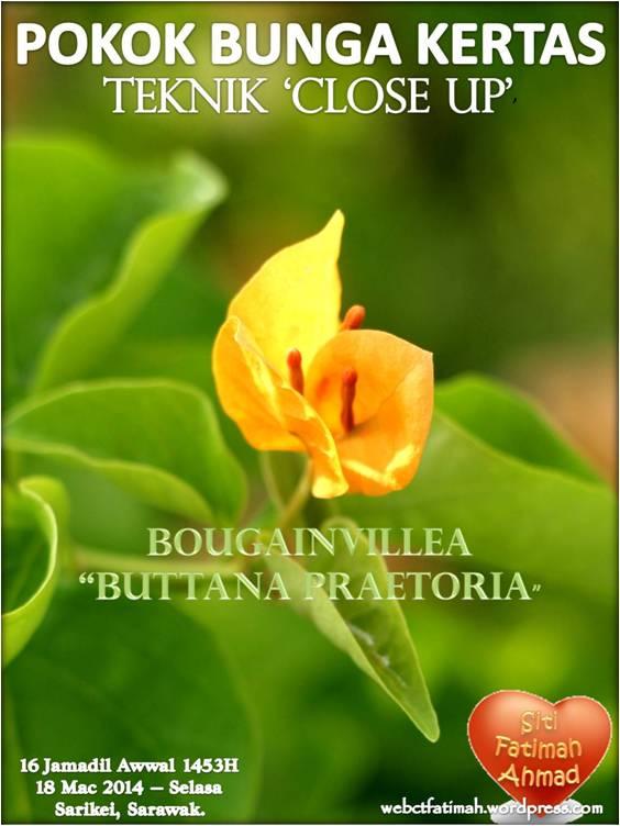 BougainVFatima1CloseUp1