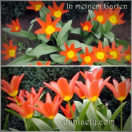 mbak Ely Tulip-Kaimana