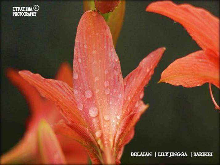 LilyFatima6Belaianmu