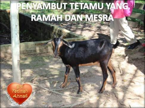 ZooFatima15KambingMesra