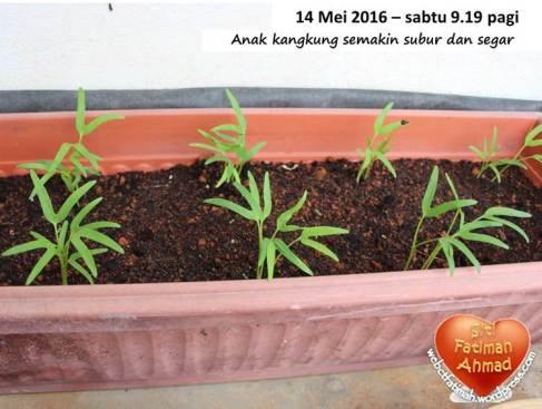 KangkungFatima14Semakinsubur